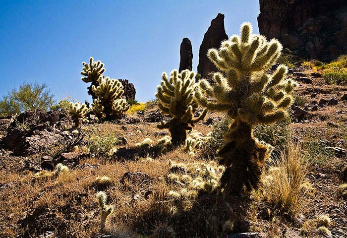 Cholla Cactus in the Superstition Mountains