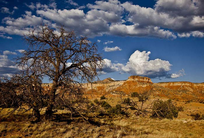 Dead Pinyon Pine at Georgia OKeefes beloved Ghost Ranch in New Mexico