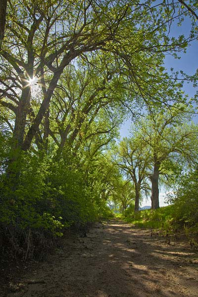 Spring Cottonwoods in Chatfield State Park
